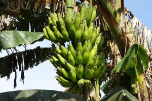 Banana tree Bardia Homestay