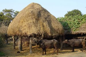 buffalo countryside bardia homestay
