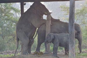 Asian Elephant Bardia National Park
