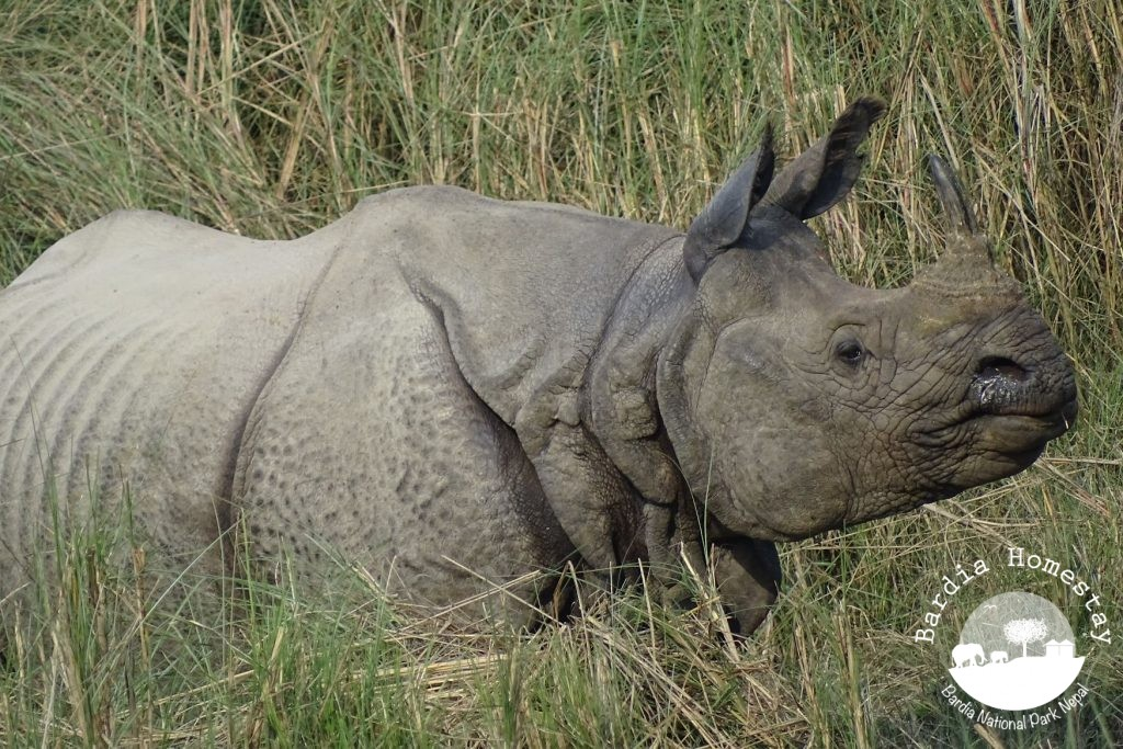 greater one horned rhino Bardia National Park