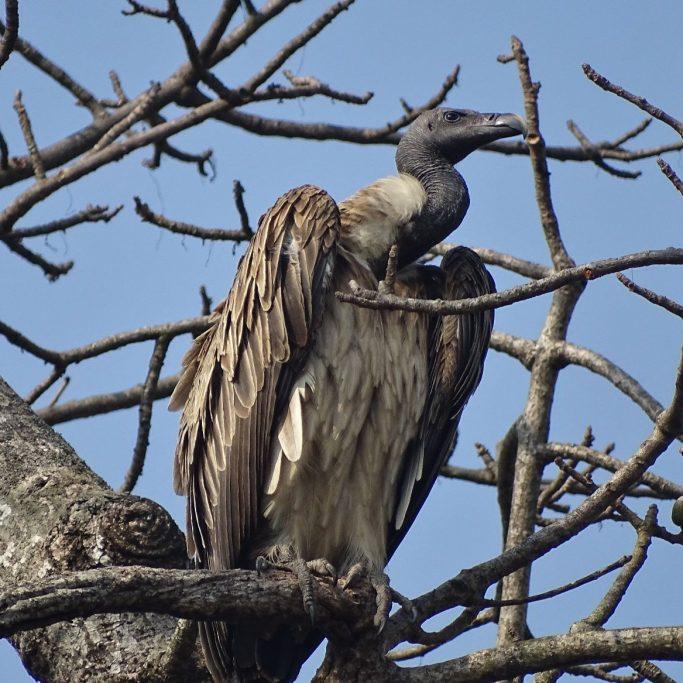slender billed vulture Shuklaphanta wildlife reserve