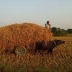 Tharu farming harvesting rice Bardiya