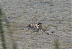 Otter Bardia National Park Nepal